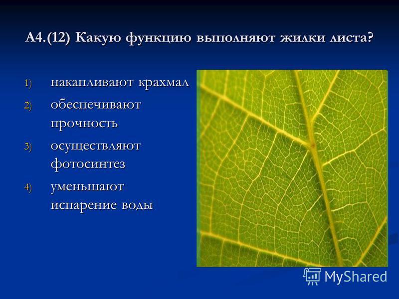 А4.(12) Какую функцию выполняют жилки листа? 1) накапливают крахмал 2) обеспечивают прочность 3) осуществляют фотосинтез 4) уменьшают испарение воды