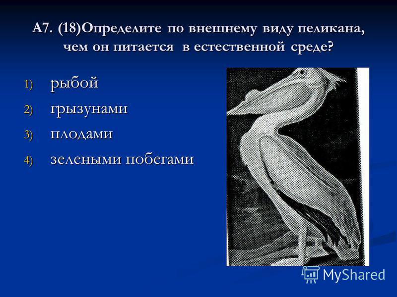 А7. (18)Определите по внешнему виду пеликана, чем он питается в естественной среде? 1) рыбой 2) грызунами 3) плодами 4) зелеными побегами