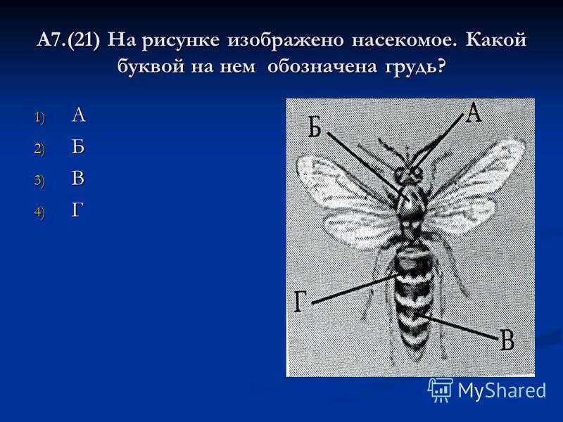 А7.(21) На рисунке изображено насекомое. Какой буквой на нем обозначена грудь? 1) А 2) Б 3) В 4) Г