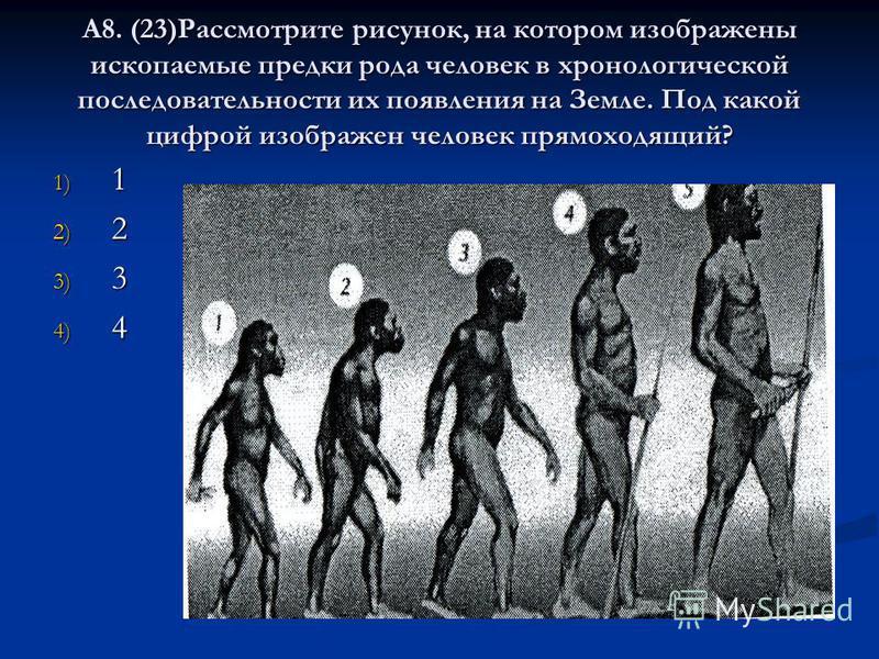 А8. (23)Рассмотрите рисунок, на котором изображены ископаемые предки рода человек в хронологической последовательности их появления на Земле. Под какой цифрой изображен человек прямоходящий? 1) 1 2) 2 3) 3 4) 4