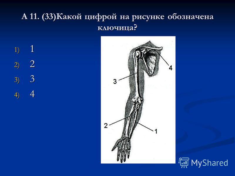 А 11. (33)Какой цифрой на рисунке обозначена ключица? 1) 1 2) 2 3) 3 4) 4