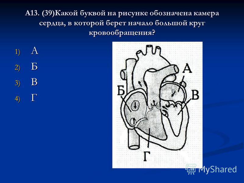 А13. (39)Какой буквой на рисунке обозначена камера сердца, в которой берет начало большой круг кровообращения? 1) А 2) Б 3) В 4) Г