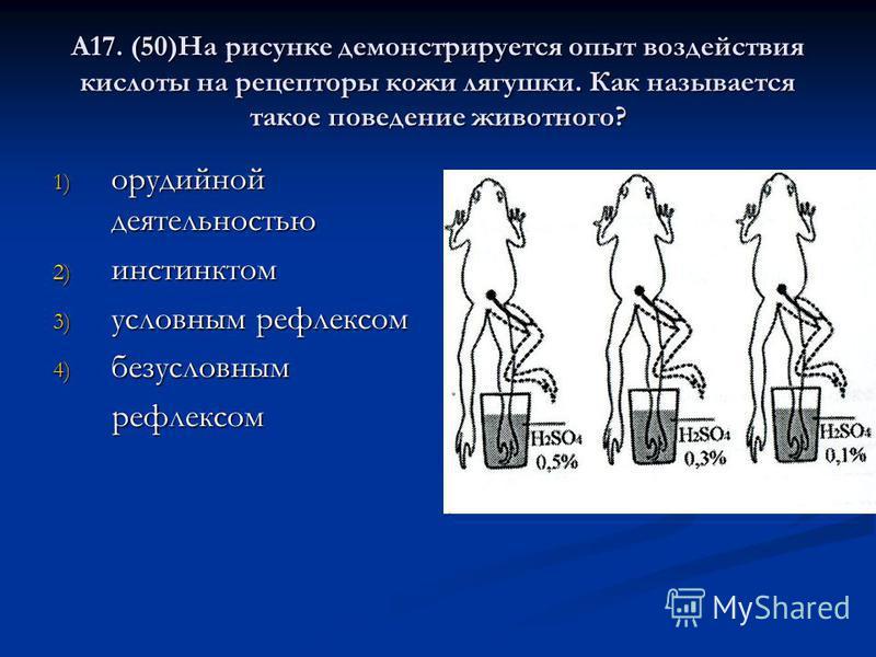 А17. (50)На рисунке демонстрируется опыт воздействия кислоты на рецепторы кожи лягушки. Как называется такое поведение животного? 1) орудийной деятельностью 2) инстинктом 3) условным рефлексом 4) безусловным рефлексом рефлексом