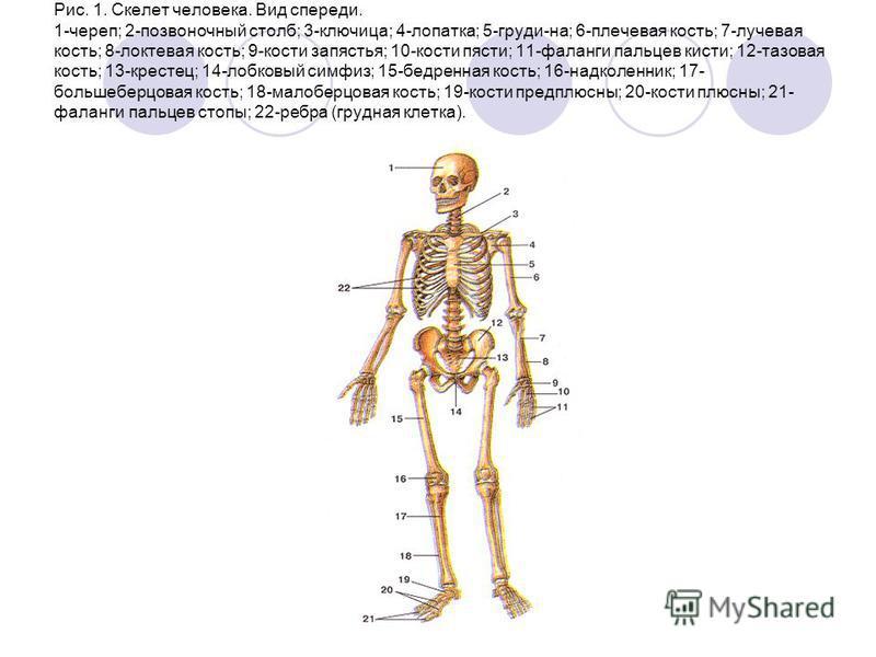 Рис. 1. Скелет человека. Вид спереди. 1-череп; 2-позвоночный столб; 3-ключица; 4-лопатка; 5-груди-на; 6-плечевая кость; 7-лучевая кость; 8-локтевая кость; 9-кости запястья; 10-кости пясти; 11-фаланги пальцев кисти; 12-тазовая кость; 13-крестец; 14-ло