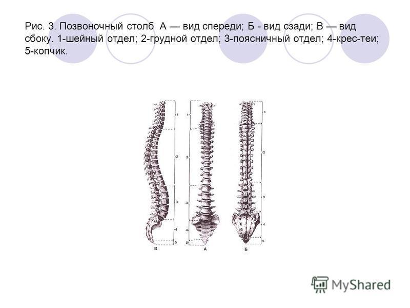 Рис. 3. Позвоночный столб А вид спереди; Б - вид сзади; В вид сбоку. 1-шейный отдел; 2-грудной отдел; 3-поясничный отдел; 4-крес-теи; 5-копчик.