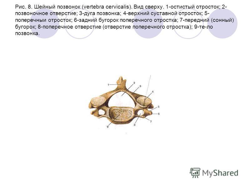Рис. 8. Шейный позвонок (vertebra cervicalis). Вид сверху. 1-остистый отросток; 2- позвоночное отверстие; 3-дуга позвонка; 4-верхний суставной отросток; 5- поперечныи отросток; 6-задний бугорок поперечного отростка; 7-передний (сонный) бугорок; 8-поп