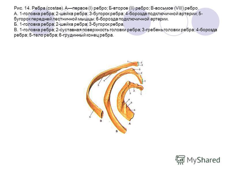 Рис. 14. Ребра (costae). Апервое (I) ребро; Б-второе (II) ребро; В-восьмое (VIII) ребро. A. 1-головка ребра; 2-шейка ребра; 3-бугорок ребра; 4-борозда подключичной артерии; 5- бугорок передней лестничной мышцы: 6-борозда подключичной артерии. Б. 1-го
