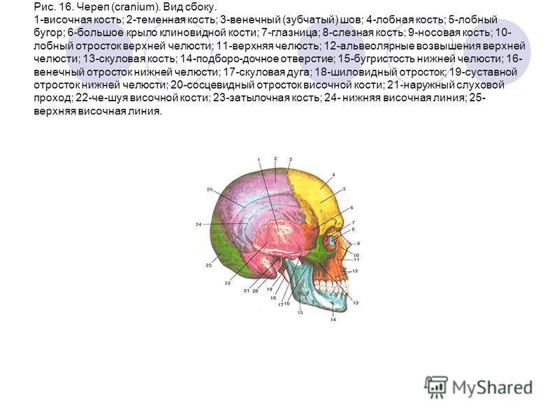 Рис. 16. Череп (cranium). Вид сбоку. 1-височная кость; 2-теменная кость; 3-венечный (зубчатый) шов; 4-лобная кость; 5-лобный бугор; 6-большое крыло клиновидной кости; 7-глазница; 8-слезная кость; 9-носовая кость; 10- лобный отросток верхней челюсти;