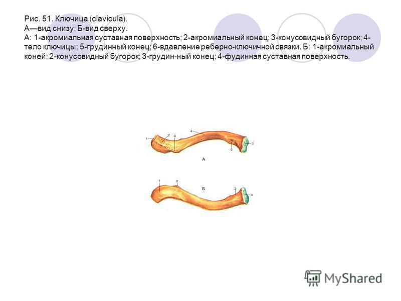 Рис. 51. Ключица (clavicula). Авид снизу; Б-вид сверху. А: 1-акромиальная суставная поверхность; 2-акромиальный конец; 3-конусовидный бугорок; 4- тело ключицы; 5-грудинный конец; 6-вдавление реберно-ключичной связки. Б: 1-акромиальный коней; 2-конусо