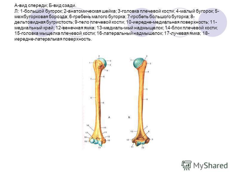 А-вид спереди; Б-вид сзади. Л: 1-большой бугорок; 2-анатомическая шейка; 3-головка плечевой кости; 4-малый бугорок; 5- межбугорковая борозда; 6-гребень малого бугорка; 7-грсбепь большого бугорка; 8- дельтовидная бугристость; 9-тело плечевой кости; 10