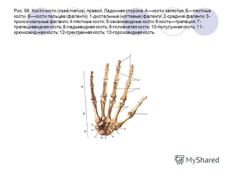 Рис. 56. Кости кисти (ossa manus), правой. Ладонная сторона. Акости запястья, Бпястные кости, Вкости пальцев (фаланги). 1-дистальные (ногтевые) фаланги; 2-средние фаланги; 3- прокси-мальные фаланги; 4-пястные кости; 5-сесамовидные кости; 6-костьтрапе