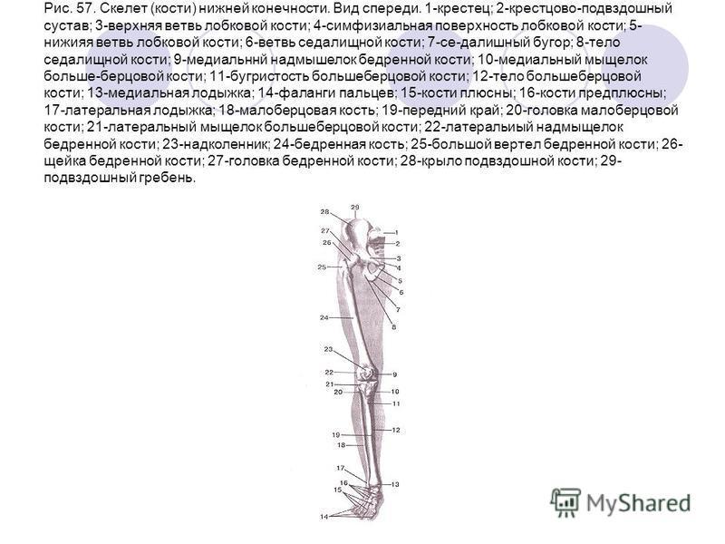 Рис. 57. Скелет (кости) нижней конечности. Вид спереди. 1-крестец; 2-крестцово-подвздошный сустав; 3-верхняя ветвь лобковой кости; 4-симфизиальная поверхность лобковой кости; 5- нижияя ветвь лобковой кости; 6-ветвь седалищной кости; 7-се-далишный буг