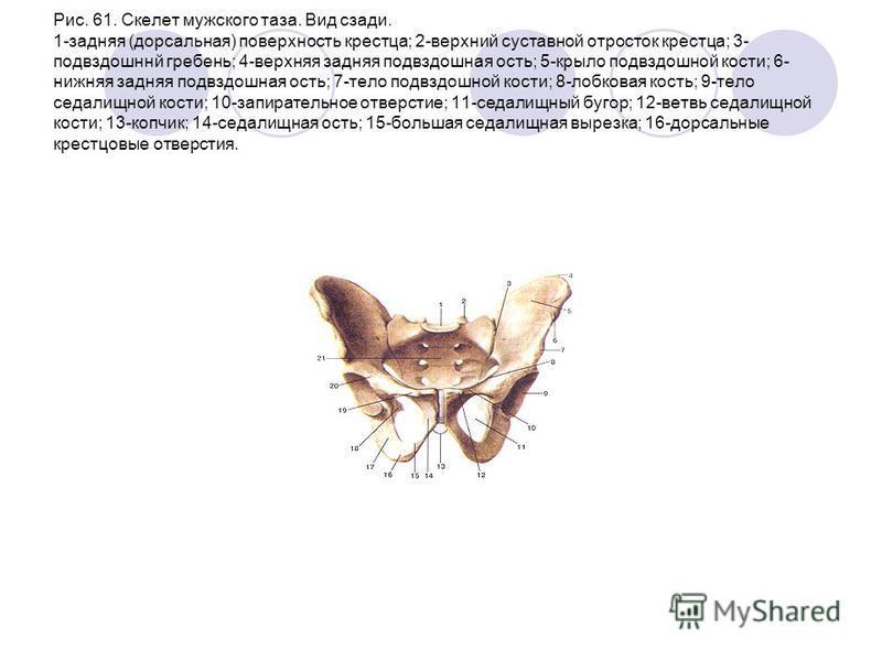 Рис. 61. Скелет мужского таза. Вид сзади. 1-задняя (дорсальная) поверхность крестца; 2-верхний суставной отросток крестца; 3- подвздошннй гребень; 4-верхняя задняя подвздошная ость; 5-крыло подвздошной кости; 6- нижняя задняя подвздошная ость; 7-тело