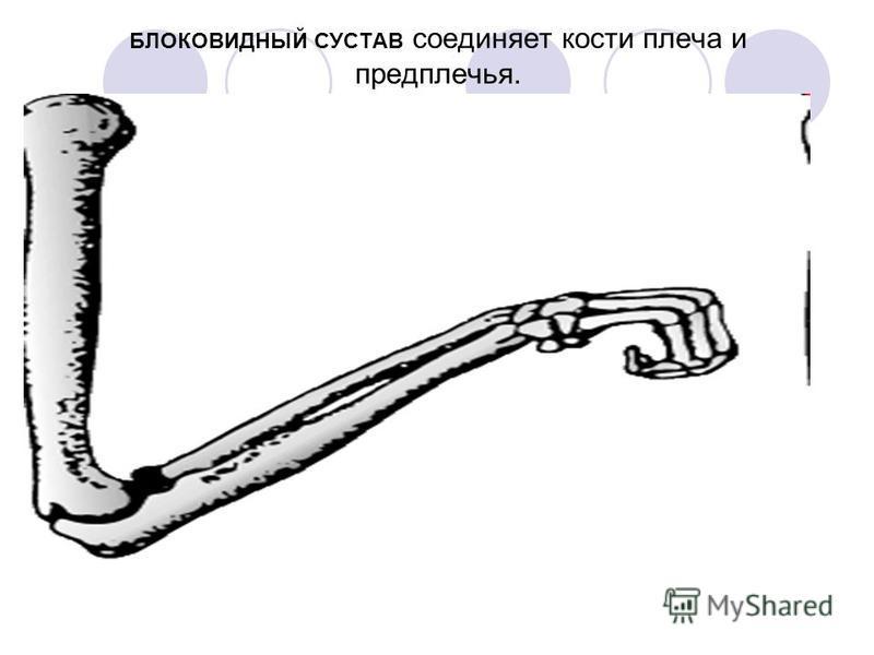 БЛОКОВИДНЫЙ СУСТАВ соединяет кости плеча и предплечья.
