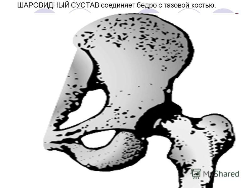 ШАРОВИДНЫЙ СУСТАВ соединяет бедро с тазовой костью.