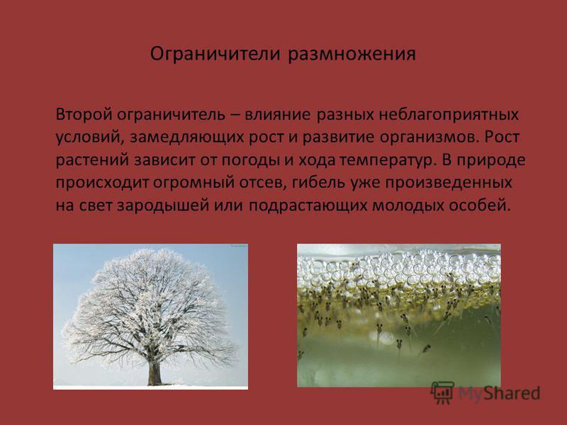 Ограничители размножения Второй ограничитель – влияние разных неблагоприятных условий, замедляющих рост и развитие организмов. Рост растений зависит от погоды и хода температур. В природе происходит огромный отсев, гибель уже произведенных на свет за