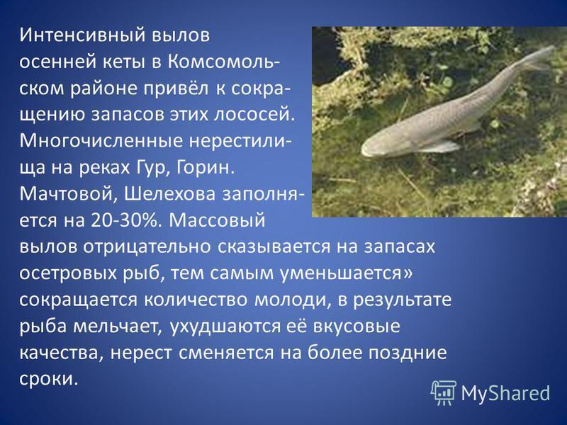 Интенсивный вылов осенней кеты в Комсомоль- ском районе привёл к сокращению запасов этих лососей. Многочисленные нерестилища на реках Гур, Горин. Мачтовой, Шелехова заполняется на 20-30%. Массовый вылов отрицательно сказывается на запасах осетровых р