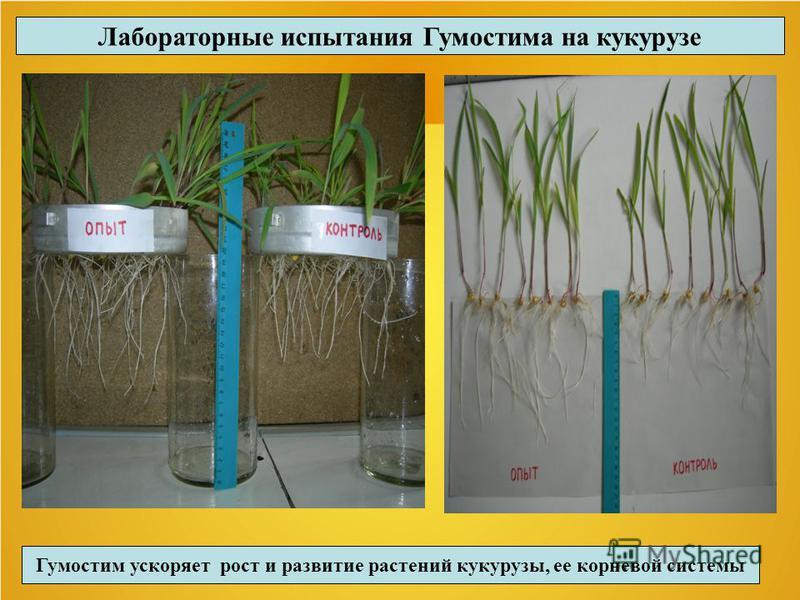 Лабораторные испытания Гумостима на кукурузе Гумостим ускоряет рост и развитие растений кукурузы, ее корневой системы
