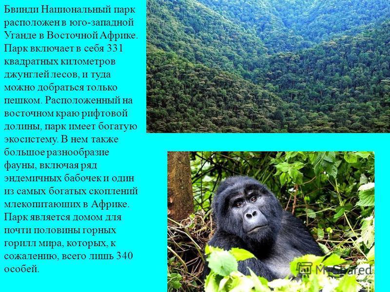 Бвинди Национальный парк расположен в юго-западной Уганде в Восточной Африке. Парк включает в себя 331 квадратных километров джунглей лесов, и туда можно добраться только пешком. Расположенный на восточном краю рифтовой долины, парк имеет богатую эко