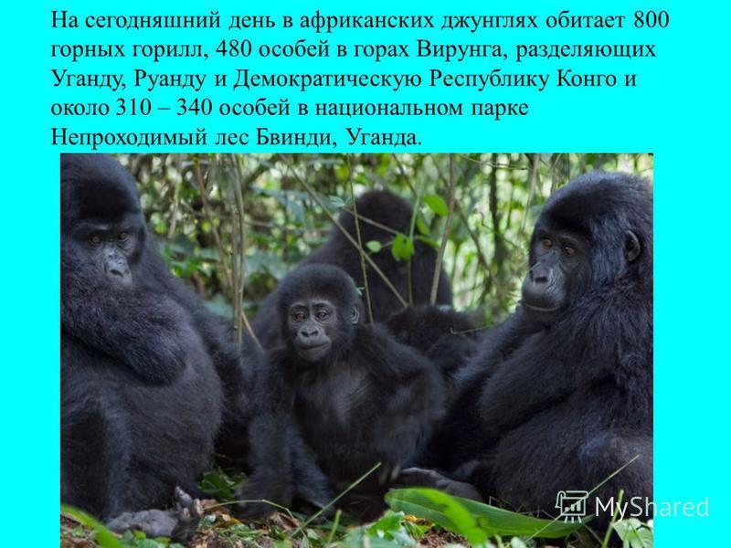 На сегодняшний день в африканских джунглях обитает 800 горных горилл, 480 особей в горах Вирунга, разделяющих Уганду, Руанду и Демократическую Республику Конго и около 310 – 340 особей в национальном парке Непроходимый лес Бвинди, Уганда.