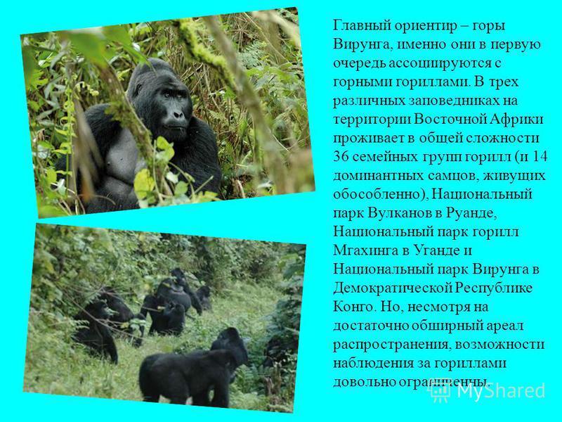 Главный ориентир – горы Вирунга, именно они в первую очередь ассоциируются с горными гориллами. В трех различных заповедниках на территории Восточной Африки проживает в общей сложности 36 семейных групп горилл (и 14 доминантных самцов, живущих обособ