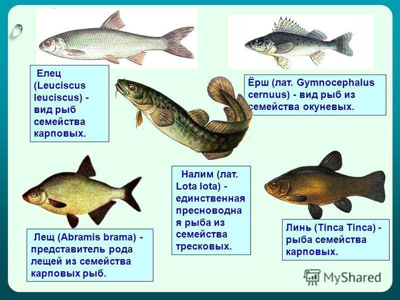 Елец (Leuciscus leuciscus) - вид рыб семейства карповых. Ёрш (лат. Gymnocephalus cernuus) - вид рыб из семейства окуневых. Лещ (Abramis brama) - представитель рода лещей из семейства карповых рыб. Линь (Tinca Tinca) - рыба семейства карповых. Налим (