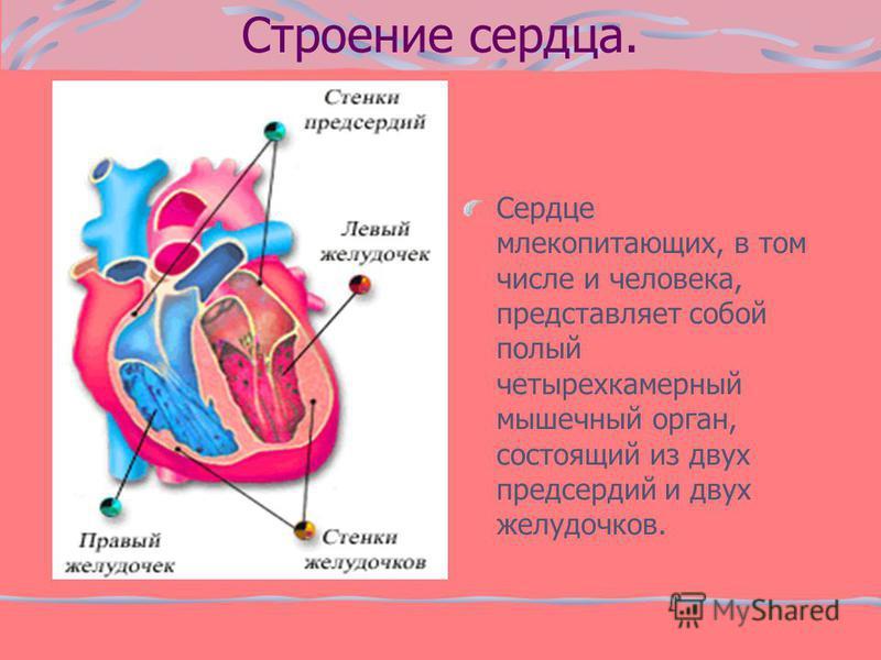 Строение сердца. Сердце млекопитающих, в том числе и человека, представляет собой полый четырехкамерный мышечный орган, состоящий из двух предсердий и двух желудочков.