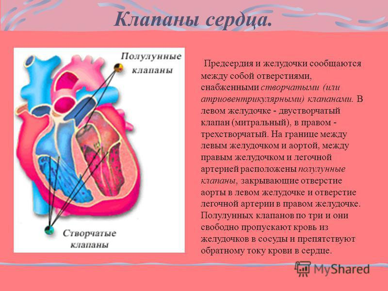 Предсердия и желудочки сообщаются между собой отверстиями, снабженными створчатыми (или атриовентрикулярными) клапанами. В левом желудочке - двустворчатый клапан (митральный), в правом - трехстворчатый. На границе между левым желудочком и аортой, меж
