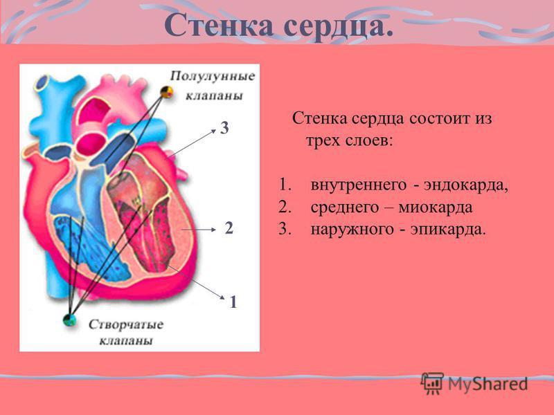 Стенка сердца состоит из трех слоев: 1. внутреннего - эндокарда, 2. среднего – миокарда 3. наружного - эпикарда. 2 3 1 Стенка сердца.