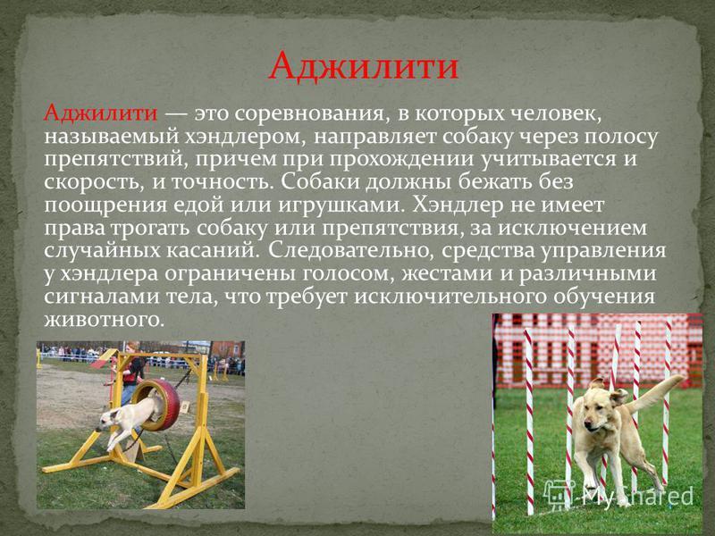 Аджилити это соревнования, в которых человек, называемый хендлером, направляет собаку через полосу препятствий, причем при прохождении учитывается и скорость, и точность. Собаки должны бежать без поощрения едой или игрушками. Хэндлер не имеет права т