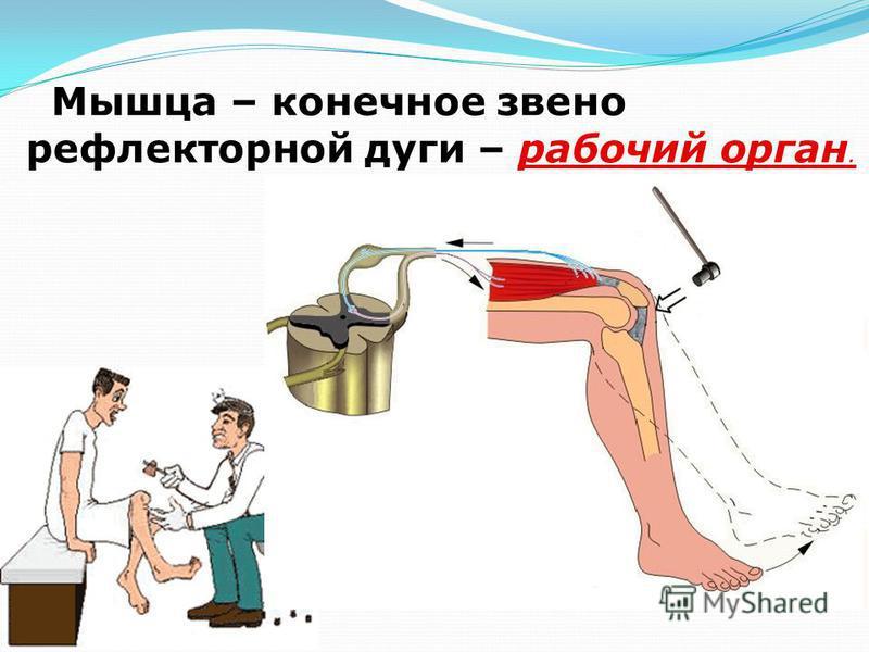 Мышца – конечное звено рефлекторной дуги – рабочий орган.