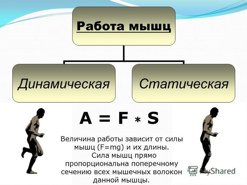 A = F * S Работа мышц Динамическая Статическая Величина работы зависит от силы мышц (F=mg) и их длины. Сила мышц прямо пропорциональна поперечному сечению всех мышечных волокон данной мышцы.