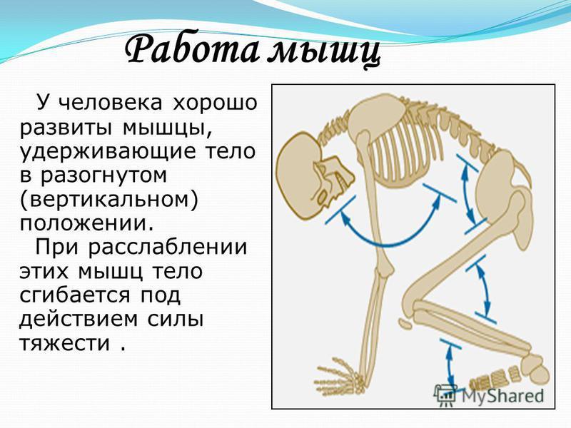 У человека хорошо развиты мышцы, удерживающие тело в разогнутом (вертикальном) положении. При расслаблении этих мышц тело сгибается под действием силы тяжести. Работа мышц