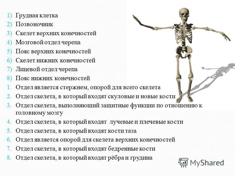 1) Грудная клетка 2) Позвоночник 3) Скелет верхних конечностей 4) Мозговой отдел черепа 5) Пояс верхних конечностей 6) Скелет нижних конечностей 7) Лицевой отдел черепа 8) Пояс нижних конечностей 1. Отдел является стержнем, опорой для всего скелета 2