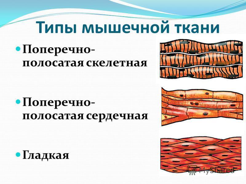 Типы мышечной ткани Поперечно- полосатая скелетная Поперечно- полосатая сердечная Гладкая
