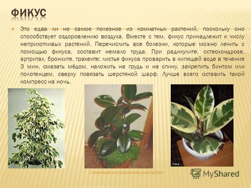 Это едва ли не самое полезное из комнатных растений, поскольку оно способствует оздоровлению воздуха. Вместе с тем, фикус принадлежит к числу неприхотливых растений. Перечислить все болезни, которые можно лечить с помощью фикуса, составит немало труд