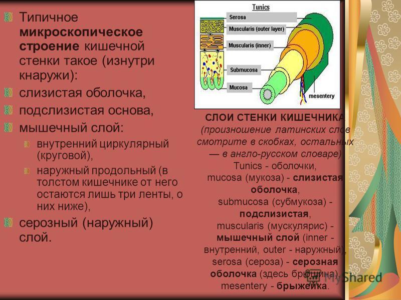 Типичное микроскопическое строение кишечной стенки такое (изнутри кнаружи): слизистая оболочка, подслизистая основа, мышечный слой: внутренний циркулярный (круговой), наружный продольный (в толстом кишечнике от него остаются лишь три ленты, о них ниж