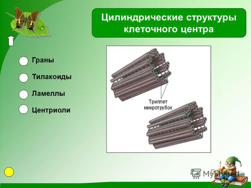 Цилиндрические структуры клеточного центра Граны Тилакоиды Ламеллы Центриоли