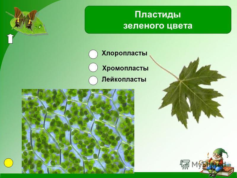 Хлоропласты Хромопласты Лейкопласты Пластиды зеленого цвета