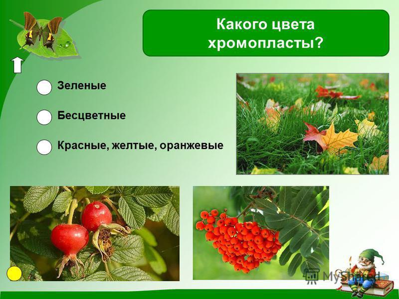 Красные, желтые, оранжевые Зеленые Бесцветные Какого цвета хромопласты?