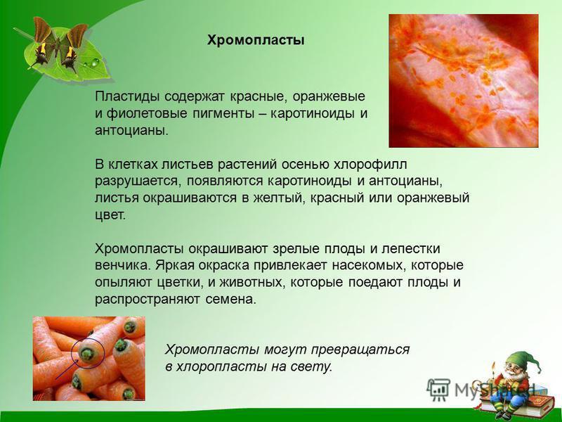 Хромопласты Пластиды содержат красные, оранжевые и фиолетовые пигменты – каротиноиды и антоцианы. В клетках листьев растений осенью хлорофилл разрушается, появляются каротиноиды и антоцианы, листья окрашиваются в желтый, красный или оранжевый цвет. Х