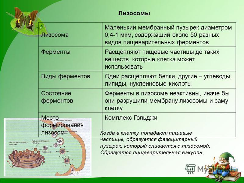 Лизосомы Лизосома Маленький мембранный пузырек диаметром 0,4-1 мкм, содержащий около 50 разных видов пищеварительных ферментов Ферменты Расщепляют пищевые частицы до таких веществ, которые клетка может использовать Виды ферментов Одни расщепляют белк