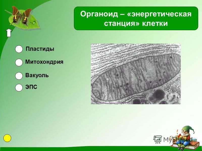 Органоид – «энергетическая станция» клетки Пластиды Митохондрия Вакуоль ЭПС