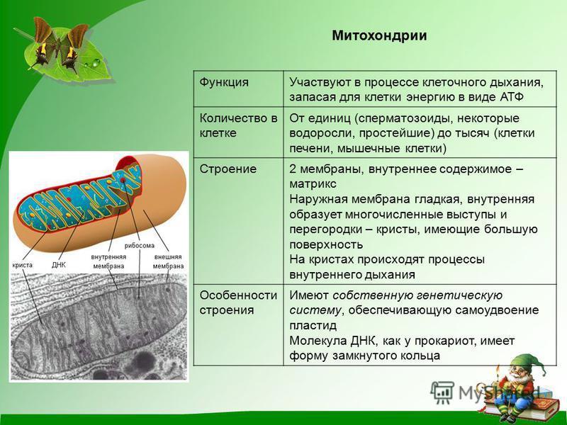 Митохондрии Функция Участвуют в процессе клеточного дыхания, запасая для клетки энергию в виде АТФ Количество в клетке От единиц (сперматозоиды, некоторые водоросли, простейшие) до тысяч (клетки печени, мышечные клетки) Строение 2 мембраны, внутренне