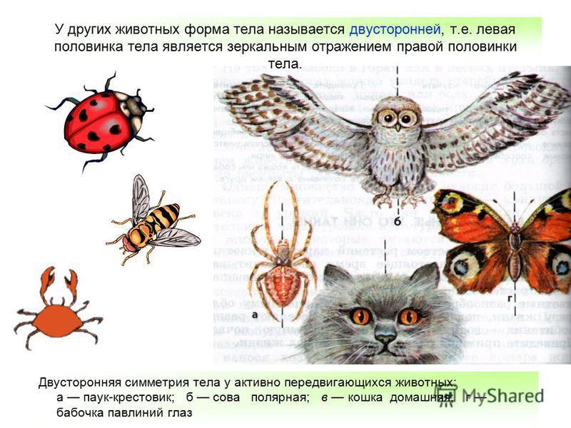Двусторонняя симметрия тела у активно передвигающихся животных: а паук-крестовик; б сова полярная; в кошка домашняя; г бабочка павлиний глаз У других животных форма тела называется двусторонней, т.е. левая половинка тела является зеркальным отражение