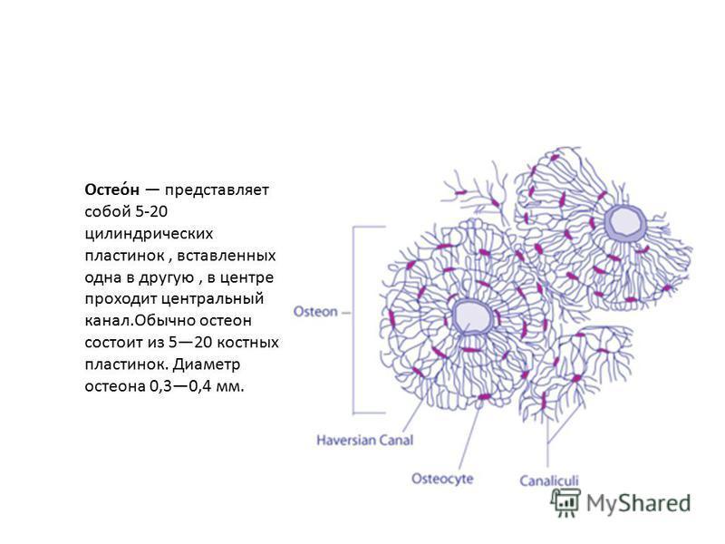 Остео́н представляет собой 5-20 цилиндрических пластинок, вставленных одна в другую, в центре проходит центральный канал.Обычно остеон состоит из 520 костных пластинок. Диаметр остеона 0,30,4 мм.