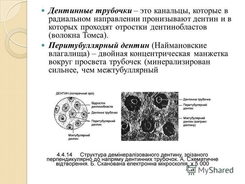 Дентинные трубочки – это канальцы, которые в радиальном направлении пронизывают дентин и в которых проходят отростки дентинобластов (волокна Томса). Перитубуллярный дентин (Наймановские влагалища) – двойная концентрическая манжетка вокруг просвета тр
