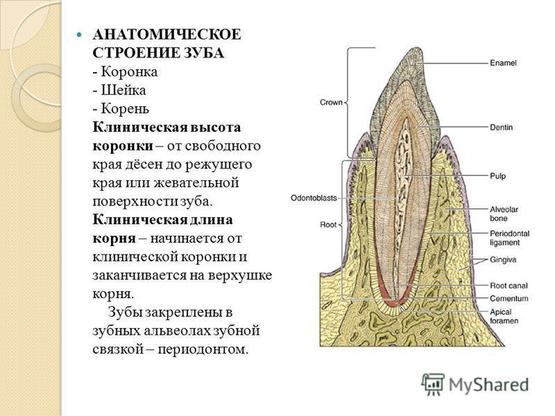 Анатомия зубов гистологическое строение зуба
