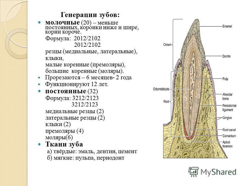 Генерации зубов: молочные (20) – меньше постоянных, коронки ниже и шире, корни короче. Формула: 2012/2102 2012/2102 резцы (медиальные, латеральные), клыки, малые коренные (премоляры), большие коренные (моляры). Прорезаются – 6 месяцев- 2 года Функцио