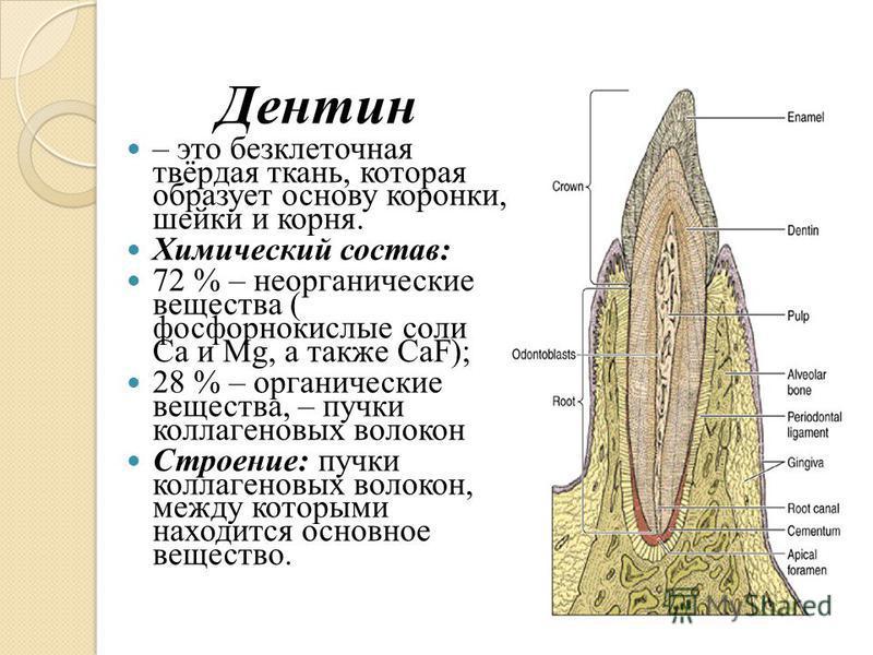 Дентин – это бесклеточная твёрдая ткань, которая образует основу коронки, шейки и корня. Химический состав: 72 % – неорганические вещества ( фосфорнокислые соли Са и Мg, а также СаF); 28 % – органические вещества, – пучки коллагеновых волокон Строени